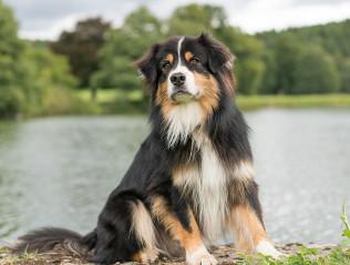Australian Shepherd kaufen | Hundemarkt edogs.de