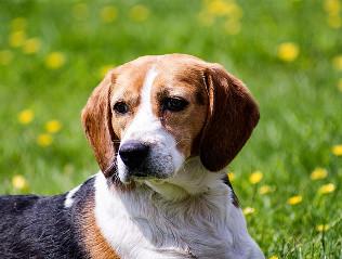 Beagle kaufen | Hundemarkt edogs.de