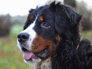 Berner Sennenhund kaufen | Hundemarkt edogs.de