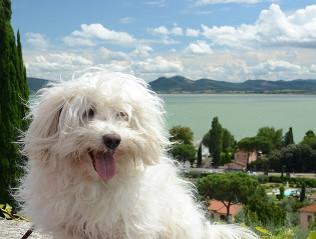 Bologneser kaufen | Hundemarkt edogs.de