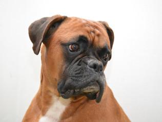 Boxer kaufen | Hundevermittlung edogs.de