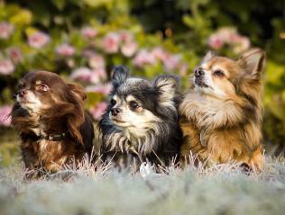 Chihuahua kaufen | Hundemarkt edogs.de