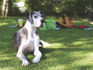 Deutsche Dogge kaufen | Hundemarkt edogs.de