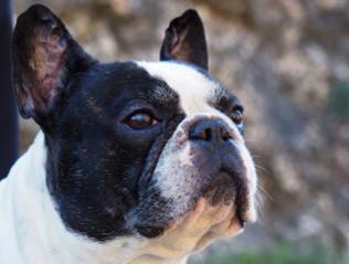 Französische Bulldogge kaufen | Hundemarkt edogs.de