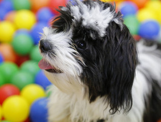 Havaneser kaufen | Hundemarkt edogs.de