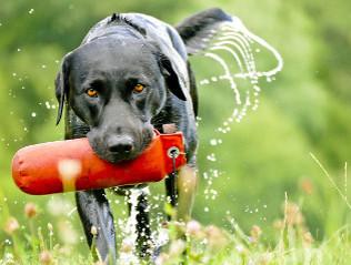 Labrador Retriever kaufen | Hundemarkt edogs.de