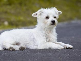 Malteser kaufen | Hundevermittlung edogs.de