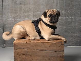 Mops kaufen | Hundevermittlung edogs.de