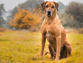 Rhodesian Ridgeback kaufen | Hundemarkt edogs.de