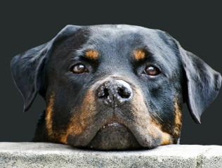 Rottweiler kaufen | Hundemarkt edogs.de