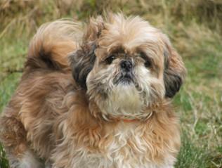 Shih-Tzu kaufen | Hundemarkt edogs.de
