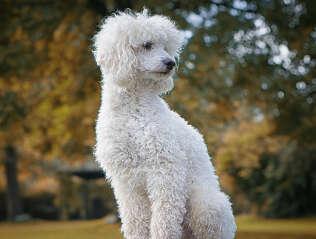 Toypudel kaufen | Hundemarkt edogs.de
