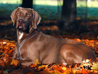 Weimaraner kaufen | Hundevermittlung edogs.de