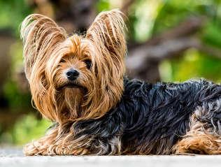 Yorkshire Terrier kaufen | Hundevermittlung edogs.de