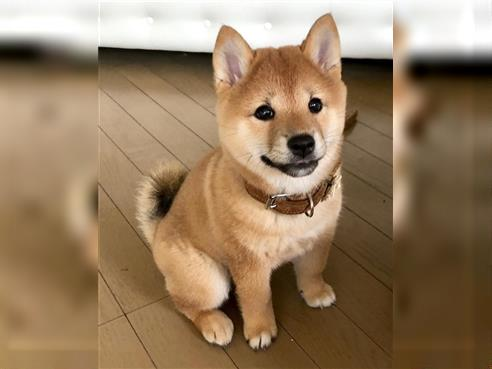Shiba Inu Rude 5 Monate Foxred