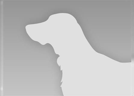 Günstige chihuahua welpen kaufen