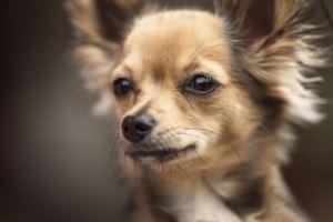 Chihuahua Kaufen Und Verkaufen Hundemarkt Edogs De