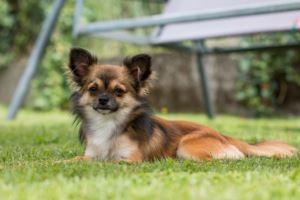 Chihuahua Kaufen Und Verkaufen Hundevermittlung Edogs De