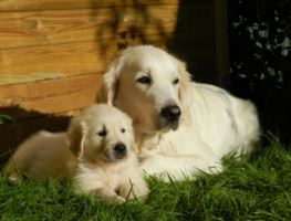 Golden Retriever Kaufen Und Verkaufen Hundemarkt Edogsde