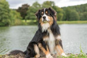 Australian Shepherd Kaufen Und Verkaufen Hundemarkt Edogs De