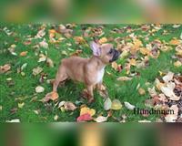 franzoesische-bulldogge-5-monate-kirchlengern