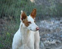 podenco-3-jahre-weiss-simonswald
