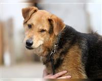 deutscher-schaeferhund-schwarz-und-loh-iserlohn