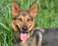 schaeferhund-4-jahre-berlin
