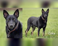 schaeferhund-schwarz-und-loh-hemer