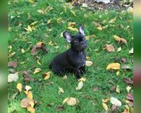 franzoesische-bulldogge-kirchlengern