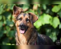 schaeferhund-5-jahre-meerbusch