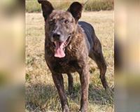 hollandse-herdershond-12-jahre-meerbusch