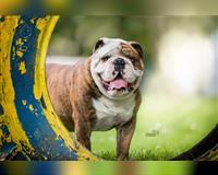 english-bulldog-braun-neuendorf-bei-niemegk