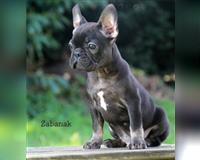 franzoesische-bulldogge-9-monate-black-tri-boisheim