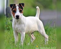jack-russell-terrier-10-monate-tricolor-rheinbach