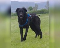 labrador-retriever-2-jahre-schwarz-kronach