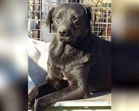 labrador-retriever-erwachsene-schwarz-neuss