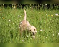 labrador-retriever-gelb-asbach