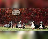 grosser-schweizer-sennenhund-tricolor-scharbeutz