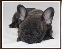 franzoesische-bulldogge-4-monate-gestromt-pforzheim