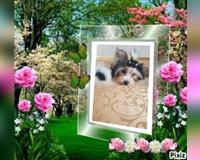 yorkshire-terrier-9-monate-dreifarbig-braun-schwarz-luebeck