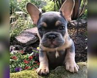 franzoesische-bulldogge-erpolzheim