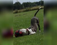 american-pitbull-terrier-2-jahre-grau-fehmarn