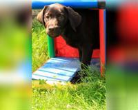 labrador-retriever-5-monate-braun-hessen---eichenzell