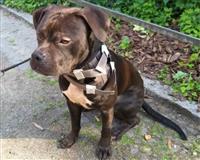 american-bulldog-1-jahr-schwarz-weiss-berlin