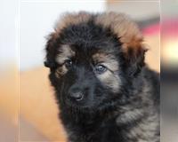 altdeutscher-schaeferhund-2-monate-grau-wiesenfelden