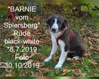border-collie-4-monate-sondershausen