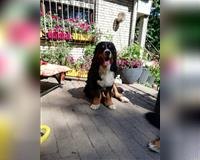 berner-sennenhund-4-jahre-tricolor-herford