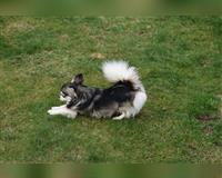 chihuahua-4-jahre-schwarz-weiss-maaseik