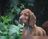 irish-setter-2-monate-rot-gniezno